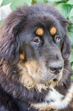 The Tibetan Mastiff puppy. Stock Image