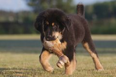 Tibetan mastiff puppy. Plays with a large bone Royalty Free Stock Images