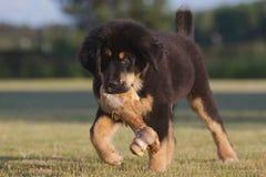 Tibetan mastiff puppy Royalty Free Stock Images