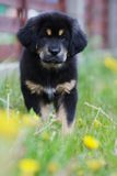 Tibetan mastiff puppy Stock Photos