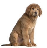 Tibetan Mastiff puppy, sitting Stock Photography