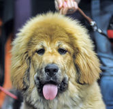 Tibetan mastiff puppy. Very strong Tibetan Mastiff puppy stock images