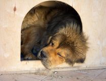 Tibetan Mastiff sleeps in a kennel Stock Photos