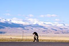 Tibetan mastiff. With snow mountain, tibet Stock Photos