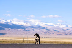 Tibetan mastiff Stock Photos