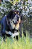 Tibetan mastiff staying on the meadow in spring Royalty Free Stock Photography