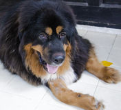 Big dog, Tibetan Mastiff Stock Image