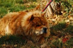 Big Tibetan Mastiff dog in winter days. royalty free stock image