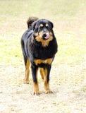 Tibetan Mastiff Royalty Free Stock Photos