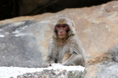Tibetan monkey single Royalty Free Stock Image