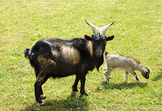 Tibetan nanny goat with kid Royalty Free Stock Image