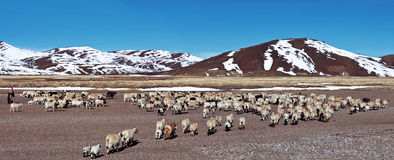 Tibetan nomad and herd of sheeps. Farmland in Ngari Prefecture, Tibetan Autonomus Region of China Stock Images