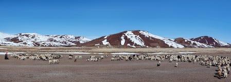 Tibetan nomad and herd of sheeps. Himalayan mountain landscape - Tibetan nomad and herd of sheeps - Farmland in Ngari Prefecture, Tibetan Autonomus Region of Royalty Free Stock Image