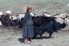 Tibetan nomad milking yak cow by hands in Ladakh, India. LADAKH, INDIA - JUNE 15, 2012: Tibetan woman in national clothes standing near her dzo yaks on pasture Stock Photography