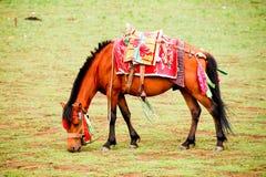 Tibetan Paard Stock Foto's