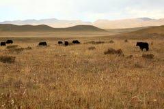 Tibetan pasture. A herd of yaks on the tibetan pasture, Gansu Province, China Royalty Free Stock Photos