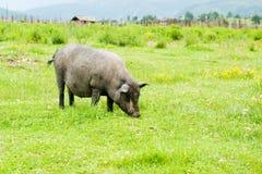 Tibetan pig Stock Image