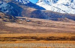 Tibetan plateau scene-Overlook tibetan gazelles (Procapra picticaudata) Royalty Free Stock Image