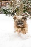 tibetan running terrier för hund Arkivbilder