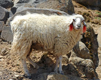 Tibetan sheep Stock Photos