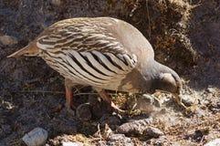 Tibetan Snowcock Pecks Stock Images