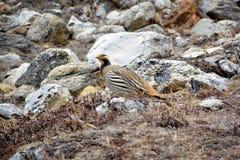 Tibetan Snowcock Tetraogallus tibetanus - beautiful bird livin Stock Photos