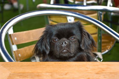 The Tibetan Spaniel Stock Photos