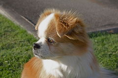 Tibetan Spaniel. Shot of my dog, Tibetan Spaniel looking at road Stock Image