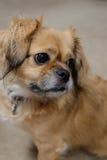 Tibetan spaniel dog portrait Royalty Free Stock Photography