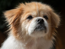 Tibetan spaniel portrait. Portrait of a Tibetan spaniel sitting in afternoon sun Stock Image