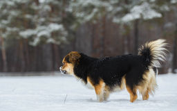 Tibetan Spaniel. Walks at the forest edge in winter Stock Images