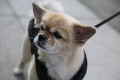 Tibetan spanielhund för stående Royaltyfria Foton