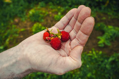 Tibetan strawberries. Some berries ripe Tibetan strawberry in hand Royalty Free Stock Images