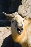 Tibetan takin or Sichuantakin. Is a goat-antelope, living in forests of the Himalayas Stock Image