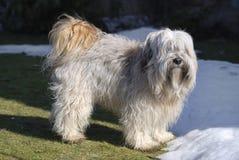 Tibetan Terrier Royalty Free Stock Photo