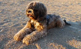 Tibetan Terrier Royalty Free Stock Photography