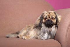 Tibetan Terrier Royalty Free Stock Photography