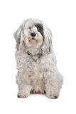 Tibetan Terrier. In front of a white background Royalty Free Stock Image