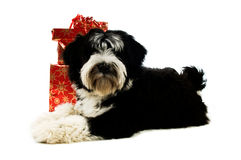 Tibetan terrier Stock Images