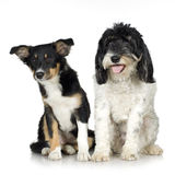 Tibetan Terrier (3 years) and puppy Border Collie stock photography