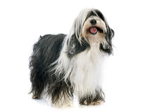 Tibetan terrier royaltyfria bilder