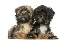 Tibetan Terrier, 4 months old, lying, isolated royalty free stock image