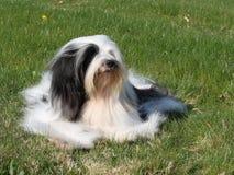 Tibetan Terrier. Beautiful white and black Tibetan Terrier dog lying on lawn Stock Images
