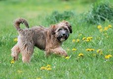 Tibetan terrier Stock Photography