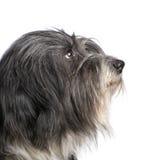 Tibetan Terrier (7 years) Royalty Free Stock Photography