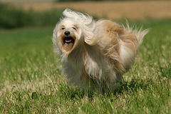 tibetan terrier royaltyfri fotografi