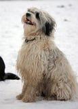 Tibetan Terrier stock photos