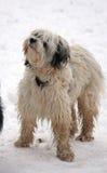 tibetan terrier Arkivfoton