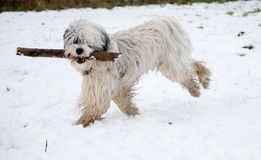 Tibetan Terrier. Happy and lively Tibetan Terrier running in the snow with a large stick in his mouth and with his back feet off the ground Royalty Free Stock Images