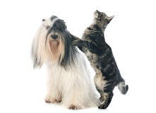 Tibetan terrier and cat Royalty Free Stock Photography